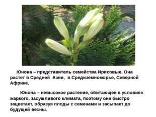 Юнона Юнона – представитель семейства Ирисовые. Она растет в Средней Азии, в