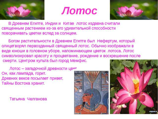 Лотос В Древнем Египте, Индии и Китае лотос издавна считали священным растен...