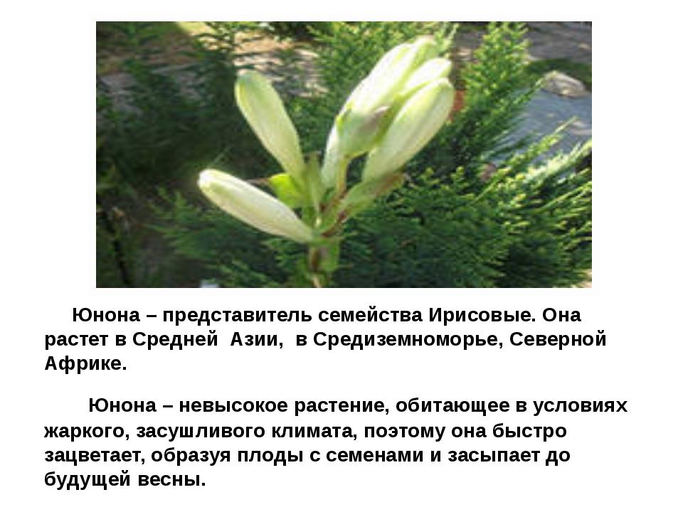 Юнона Юнона – представитель семейства Ирисовые. Она растет в Средней Азии, в...