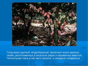Плод какао крупный, ягодообразный, заключает много крупных семян, расположенн