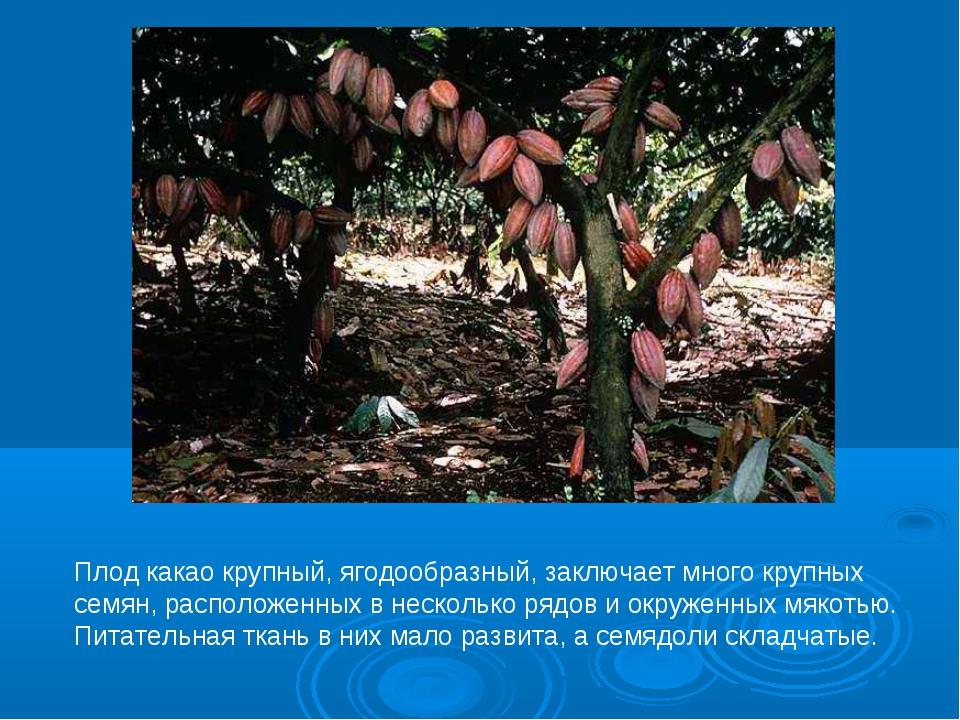 Плод какао крупный, ягодообразный, заключает много крупных семян, расположенн...