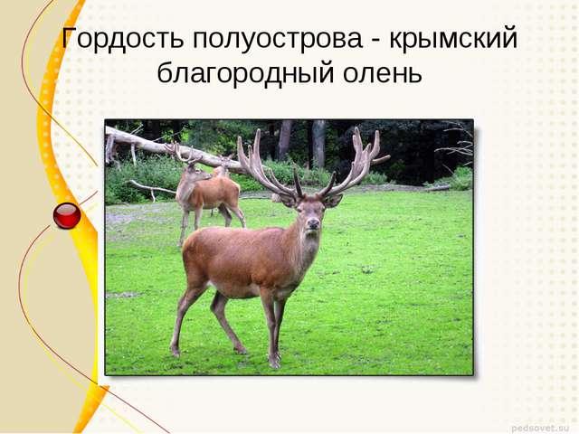 Гордость полуострова - крымский благородный олень
