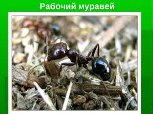 Рабочий муравей