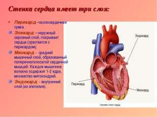 Стенка сердца имеет три слоя: Перикард –околосердечная сумка Эпикард – наружн