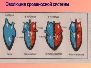 Эволюция кровеносной системы