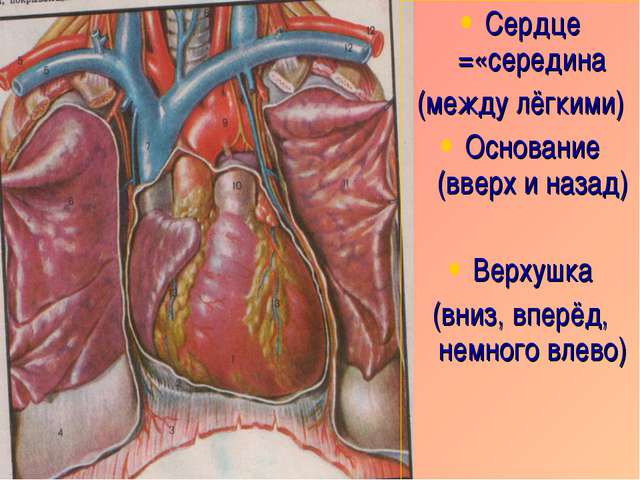 Сердце =«середина (между лёгкими) Основание (вверх и назад) Верхушка (вниз, в...