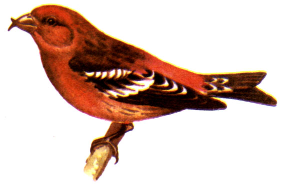 Птицы 1979 Гусев В.Г., Витте Л.А. - Наши питомцы. Птицы и звери - обитатели живых уголков питомцы террариумов аквариумные рыбы