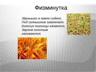 Физминутка Зёрнышко в земле сидело, Под солнышком зазеленело. Колосья пшеницы