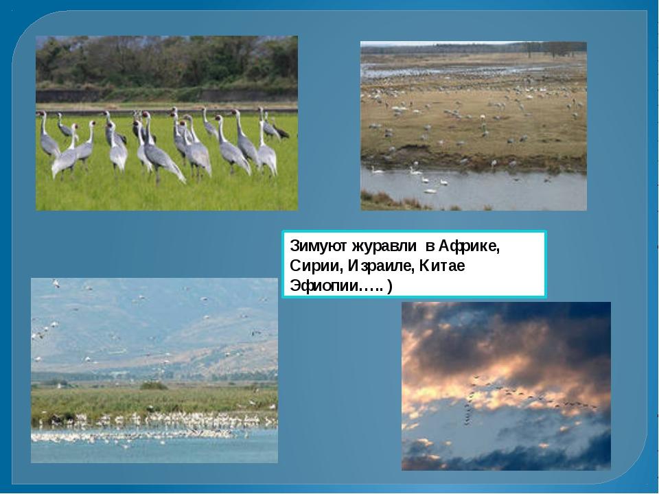 Зимуют журавли в Африке, Сирии, Израиле, Китае Эфиопии….. )