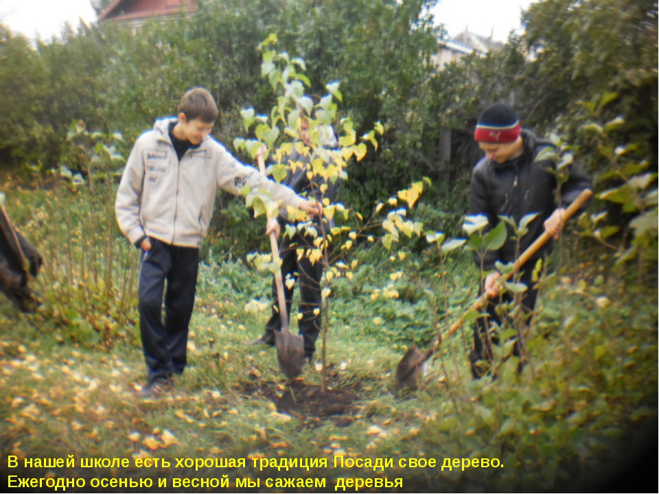 В нашей школе есть хорошая традиция Посади свое дерево. Ежегодно осенью и вес...