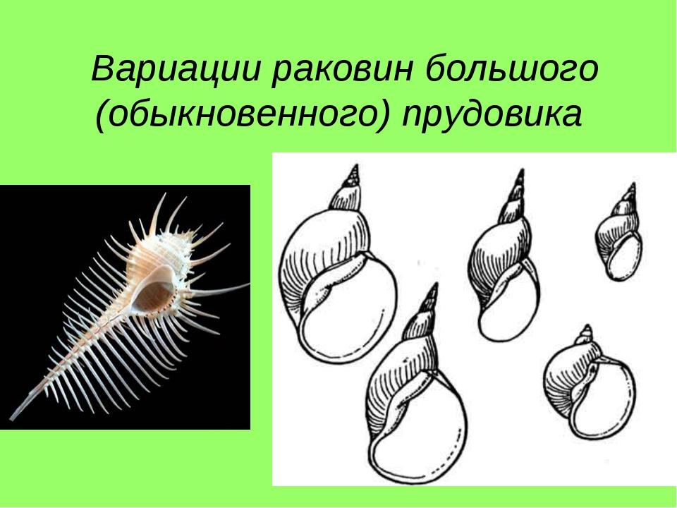 Вариации раковин большого (обыкновенного) прудовика