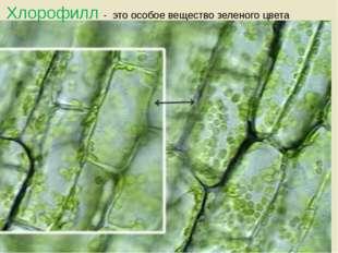 Хлорофилл - это особое вещество зеленого цвета .