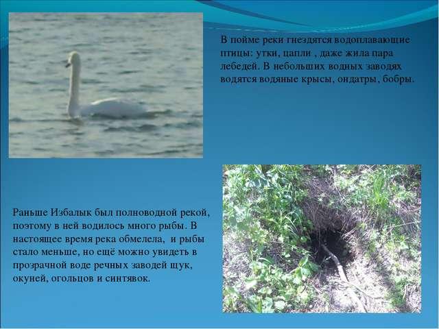 В пойме реки гнездятся водоплавающие птицы: утки, цапли , даже жила пара лебе...