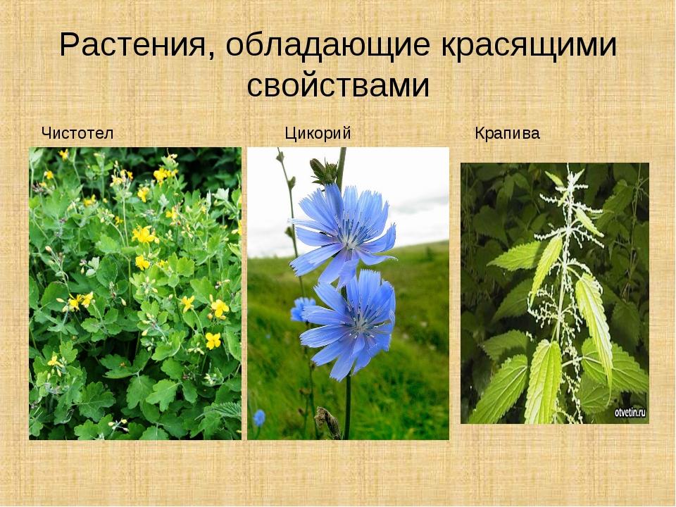 Растения, обладающие красящими свойствами Чистотел Цикорий Крапива