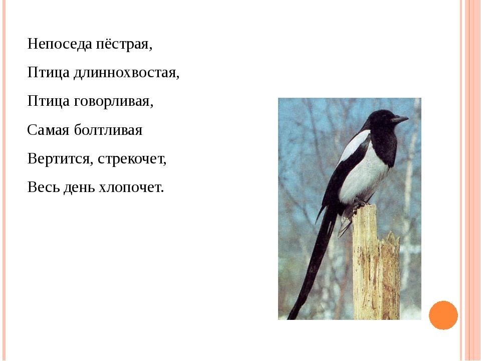Непоседа пёстрая, Птица длиннохвостая, Птица говорливая, Самая болтливая Верт...