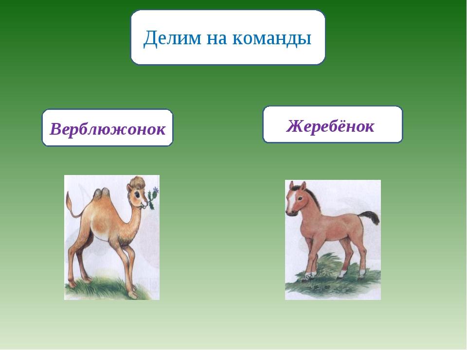 Делим на команды Жеребёнок Верблюжонок