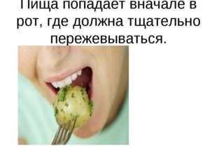 Пища попадает вначале в рот, где должна тщательно пережевываться.