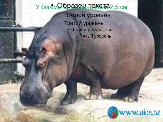 У бегемота толщина кожи 2,5 см