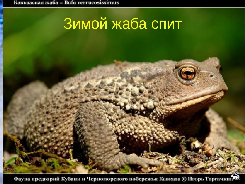 Зимой жаба спит