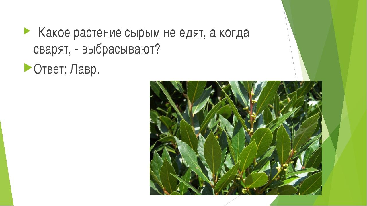 Какое растение сырым не едят, а когда сварят, - выбрасывают? Ответ: Лавр.