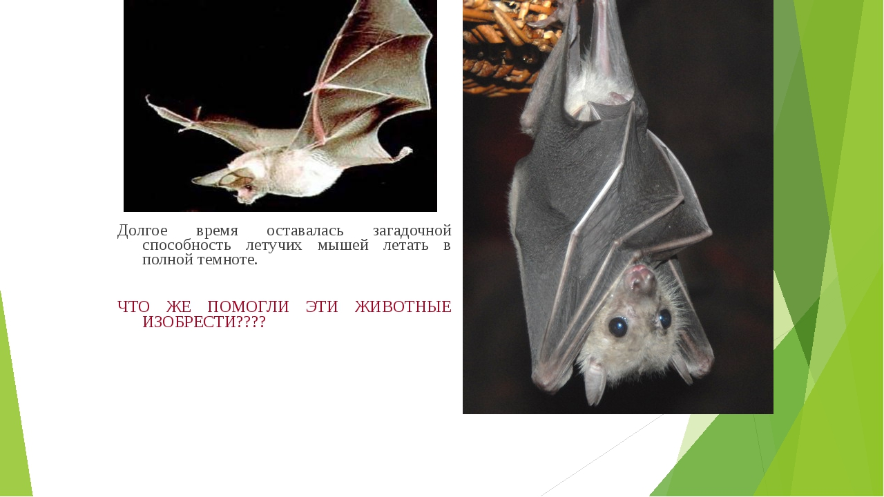 Долгое время оставалась загадочной способность летучих мышей летать в полной...