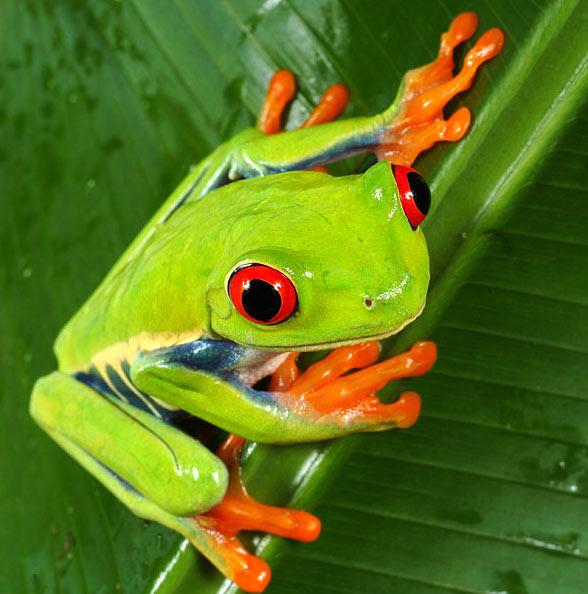 C:\Users\мария\Desktop\green-tree-frog.jpg