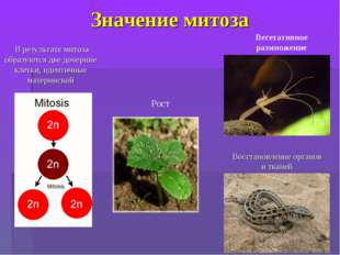 Значение митоза Вегетативное размножение В результате митоза образуются две