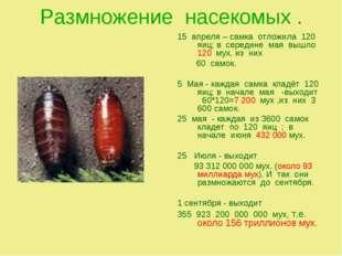 Размножение насекомых . 15 апреля – самка отложила 120 яиц; в середине мая вы