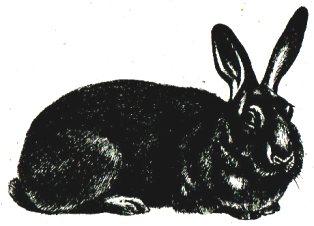Кролик порды Серый великан