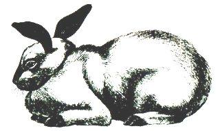 Кролик породы Калифорнийская