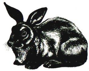 Кролик породы Советский мардер
