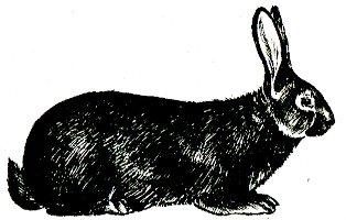 Кролик породы Бургундская