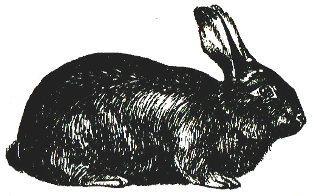 Кролик породы Длинноволосый чиффекс