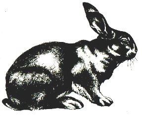 Кролик породы Советская шиншилла