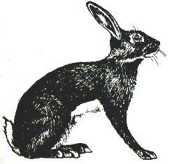 Кролик породы Бельгийский заяц