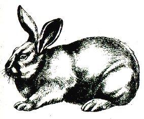 Новозеландская белая порода кроликов