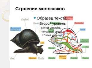 Строение моллюсков