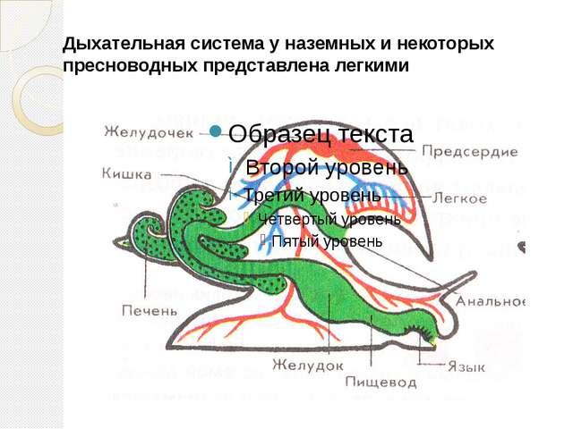 Дыхательная система у наземных и некоторых пресноводных представлена легкими