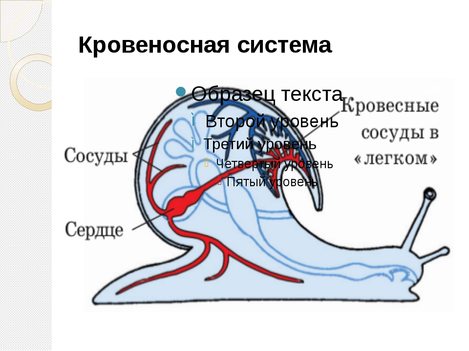 Кровеносная система