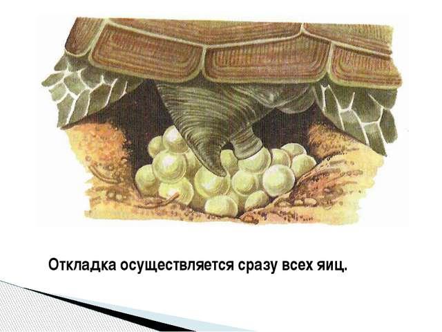 Откладка осуществляется сразу всех яиц.