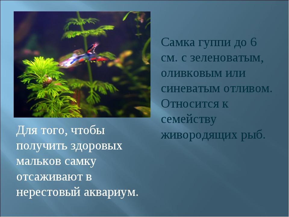 Самка гуппи до 6 см. с зеленоватым, оливковым или синеватым отливом. Относитс...