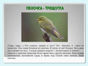 ПЕНОЧКА - ТРЕЩОТКА «Тррр…тррр…» Кто озорует, трещит в лесу? Это пеночка. А з