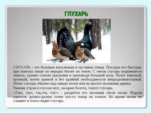 ГЛУХАРЬ ГЛУХАРЬ - это большая неуклюжая и пугливая птица. Походка его быстра