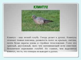 КЛИНТУХ Клинтух - наш лесной голубь. Гнезда делает в дуплах. Клинтуха отлича