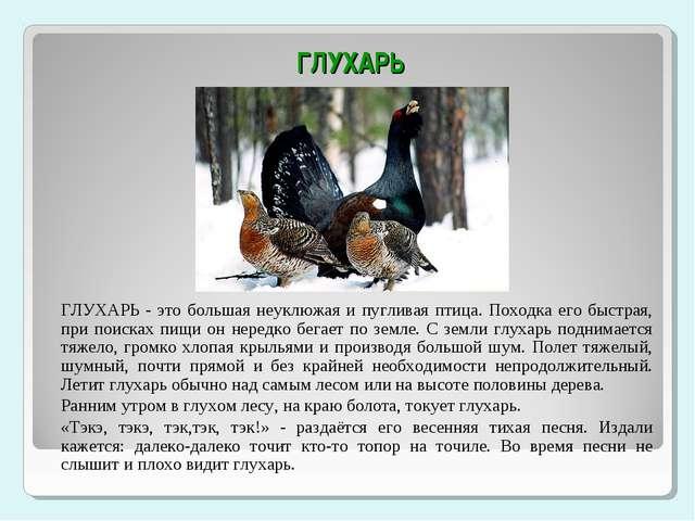 ГЛУХАРЬ ГЛУХАРЬ - это большая неуклюжая и пугливая птица. Походка его быстра...