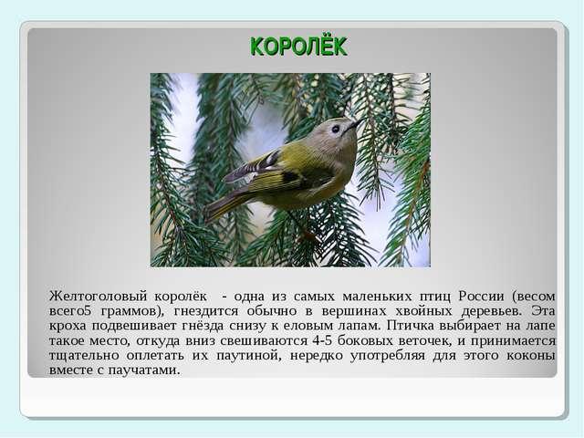 КОРОЛЁК Желтоголовый королёк - одна из самых маленьких птиц России (весом вс...