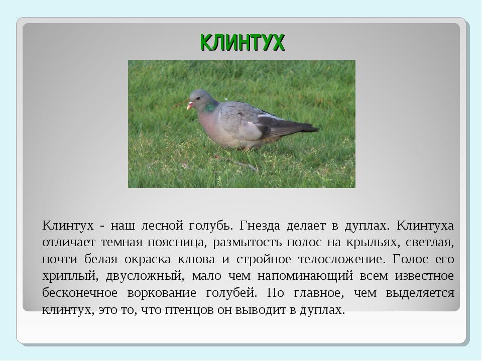 КЛИНТУХ Клинтух - наш лесной голубь. Гнезда делает в дуплах. Клинтуха отлича...