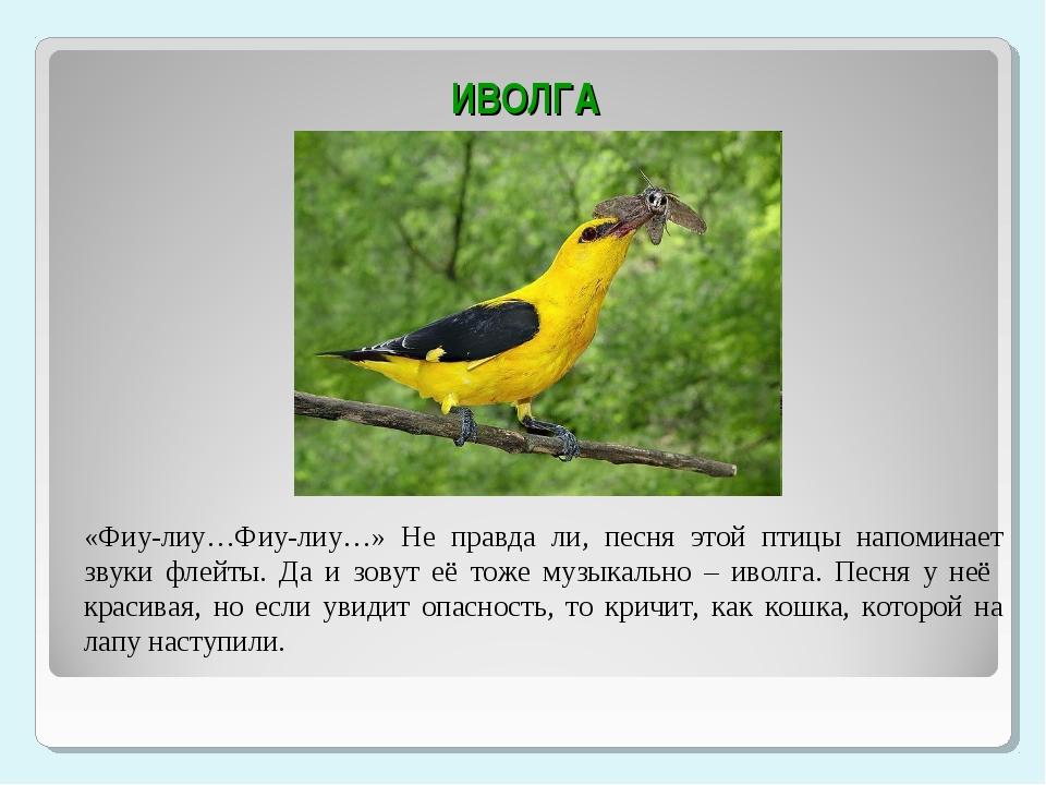 ИВОЛГА «Фиу-лиу…Фиу-лиу…» Не правда ли, песня этой птицы напоминает звуки фл...