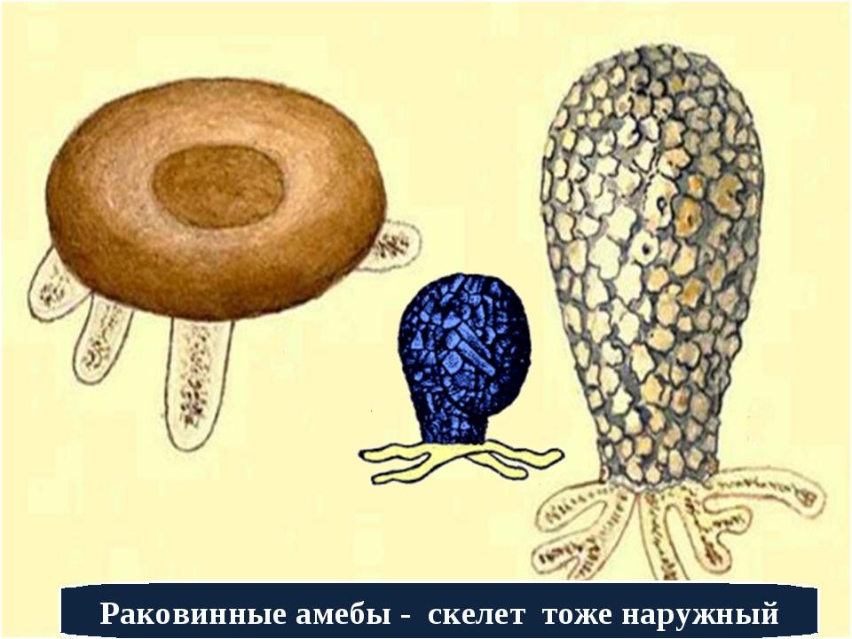 Голые и раковинные амебы
