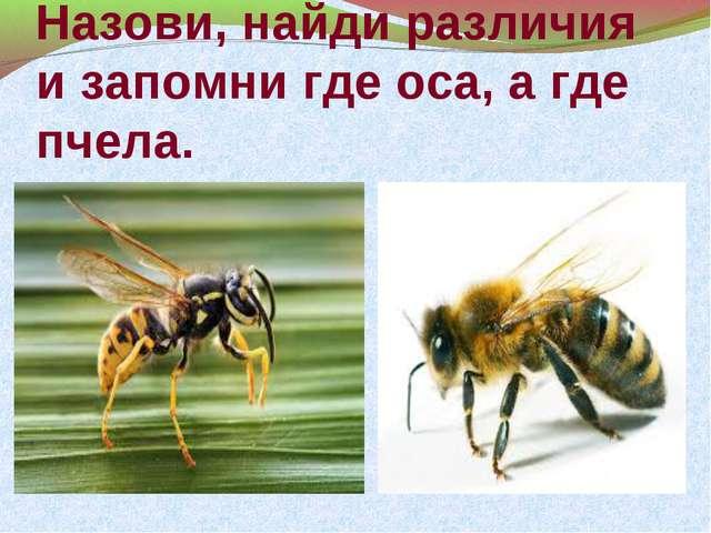 Назови, найди различия и запомни где оса, а где пчела.